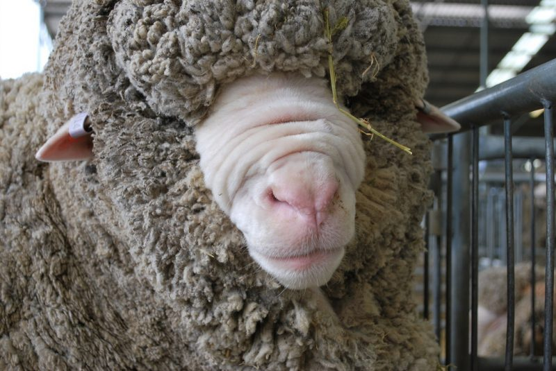 Foto: NZ Sheep/Creative Commons - Flickr